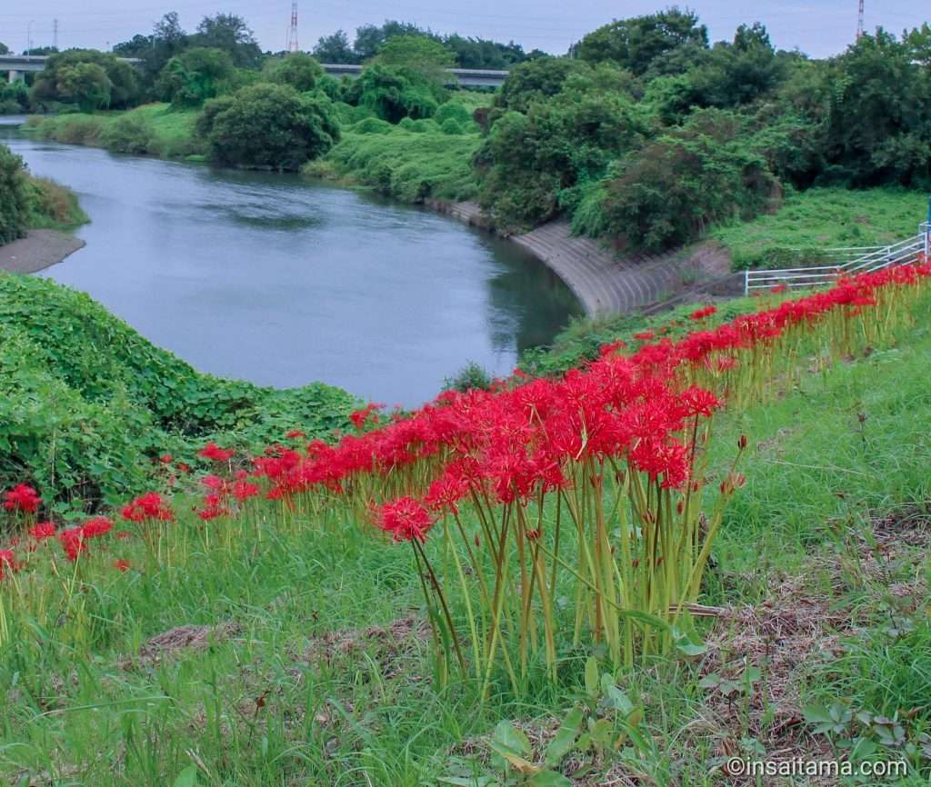 Red spider lilies along the Oppe River Kawajima