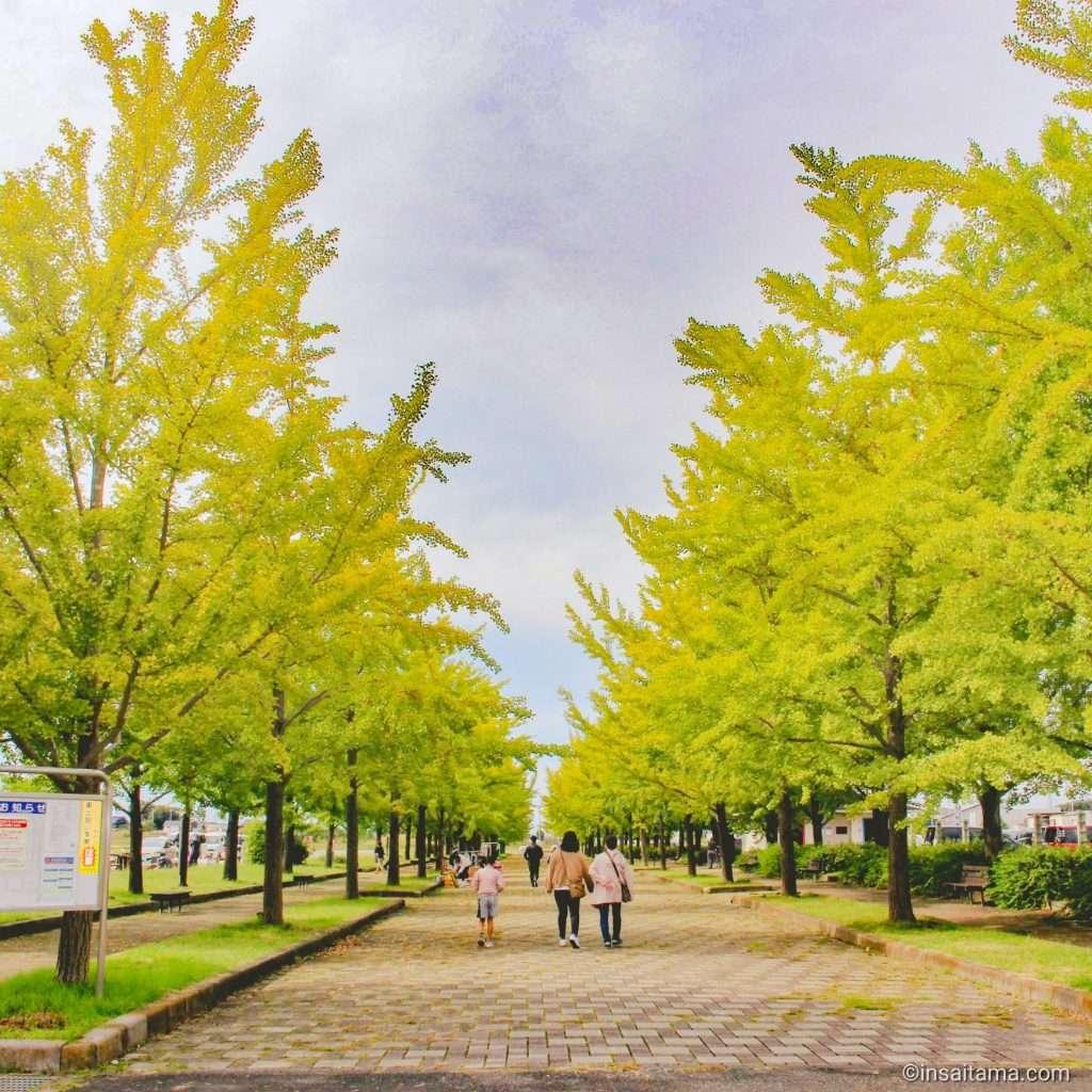 Avenue of gingko trees in Kazo Hanasaki Park