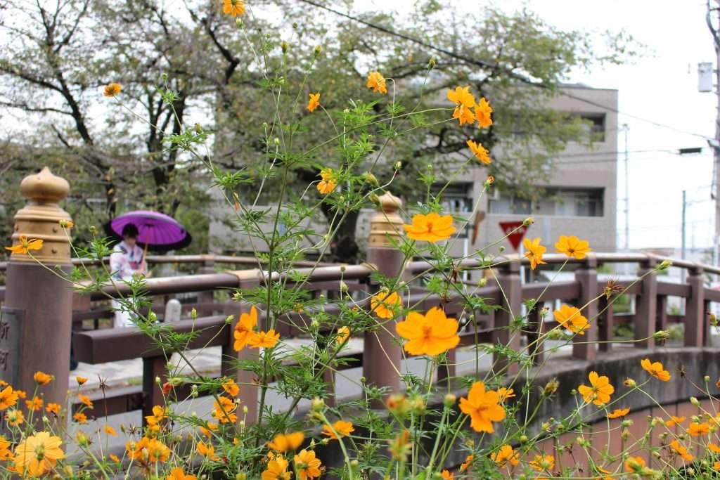 Cosmos Kawagoe Hikawa jinja shrine