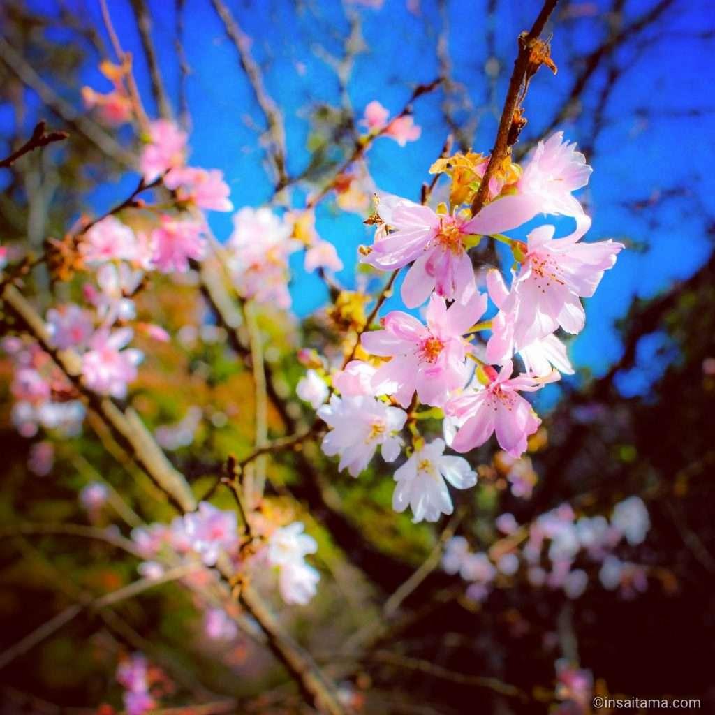winter sakura cherry blossoms at Jomine Park