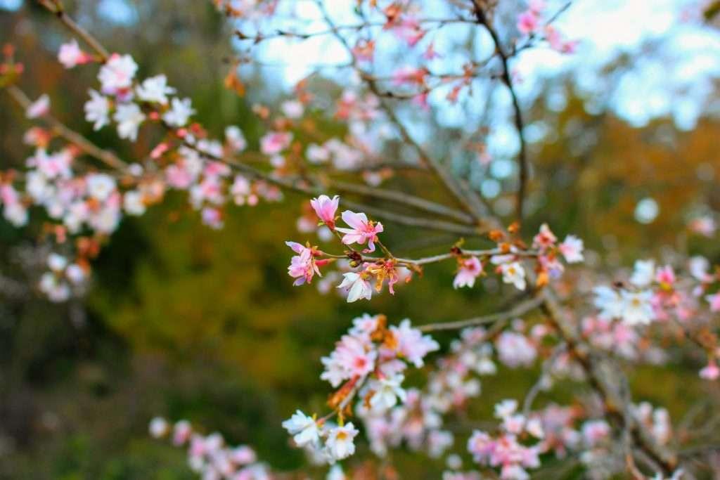 October cherry blossoms Jomine Park Saitama