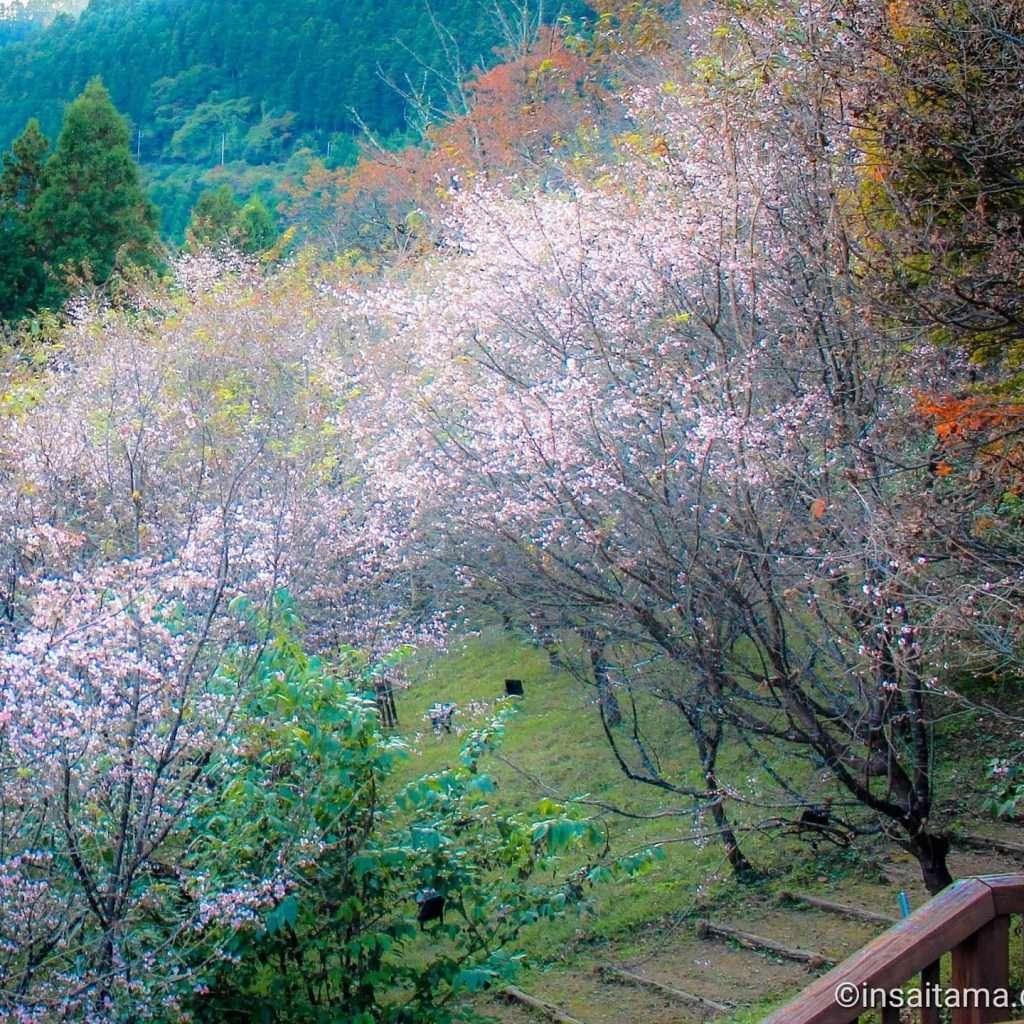Winter cherry blossoms jyugatsuzakura Jomine Park Kamikawa Saitama Japan