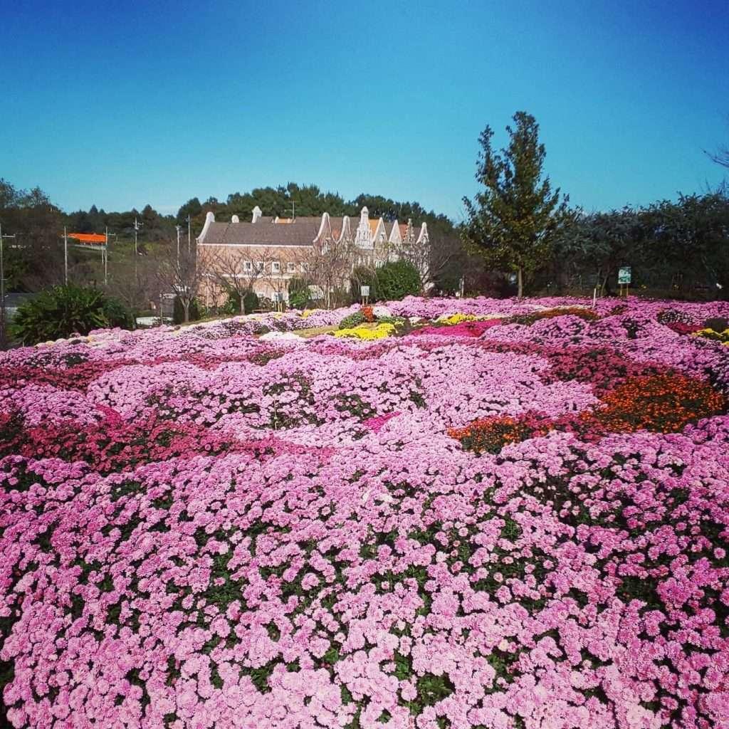 chrysanthemum higashimatsuyama in Saitama Prefecture, Japan