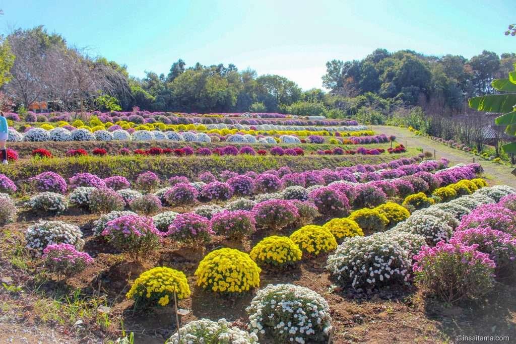 Chrysanthemum in Saitama