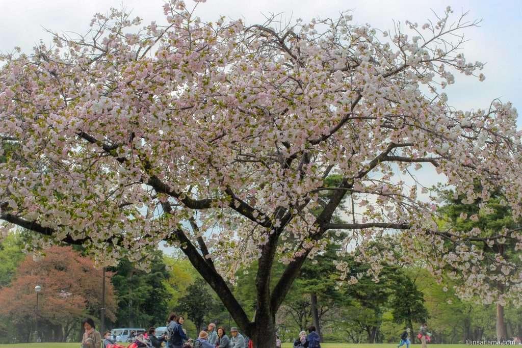 Cherry Blossoms at Inariyama Park Sayama