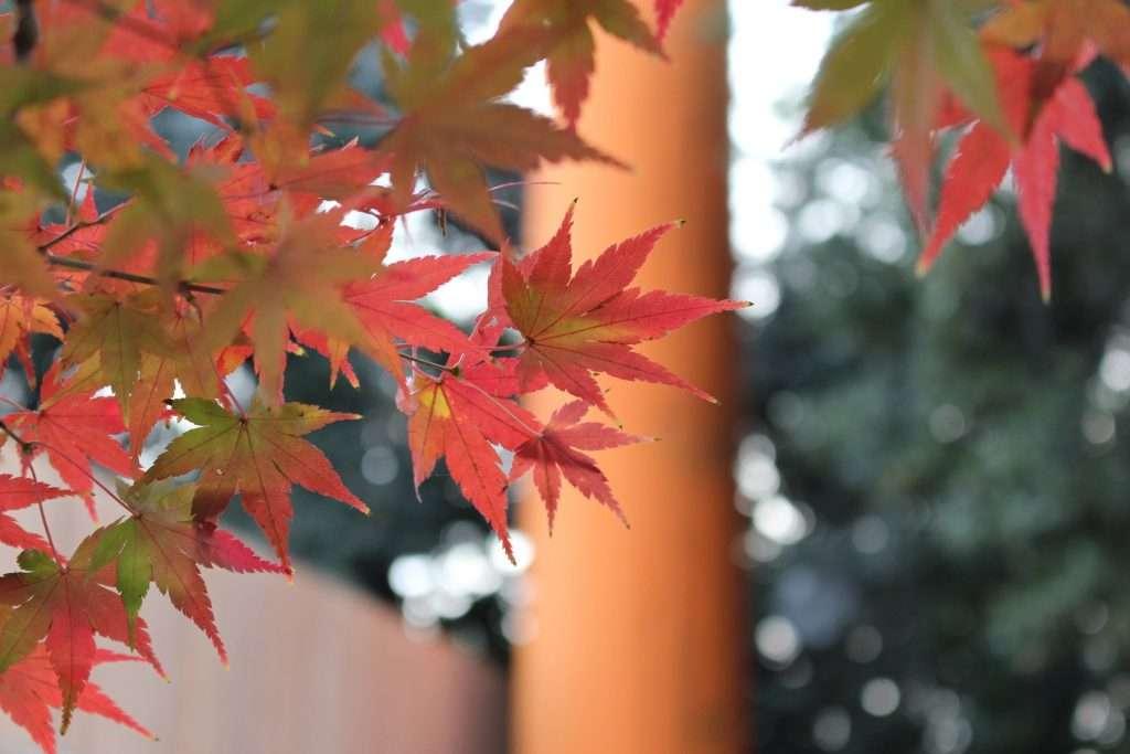 Kawagoe Hikawa SHrine in Autumn