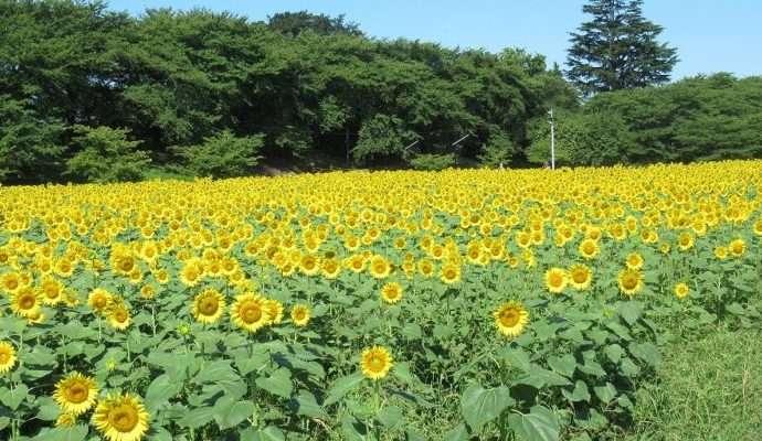 Gongendo park sunflowers