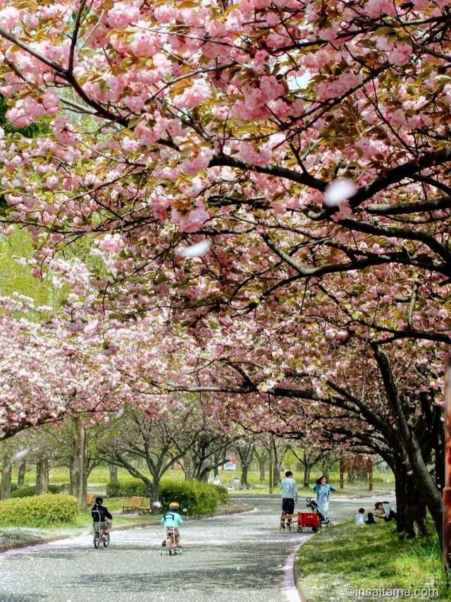 10 Cherry Blossom Spots Kawagoe