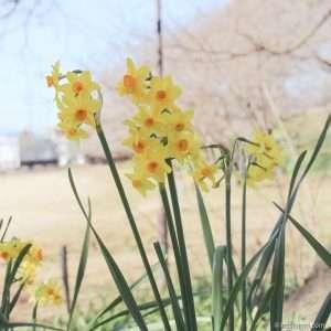 Daffodils Saitama