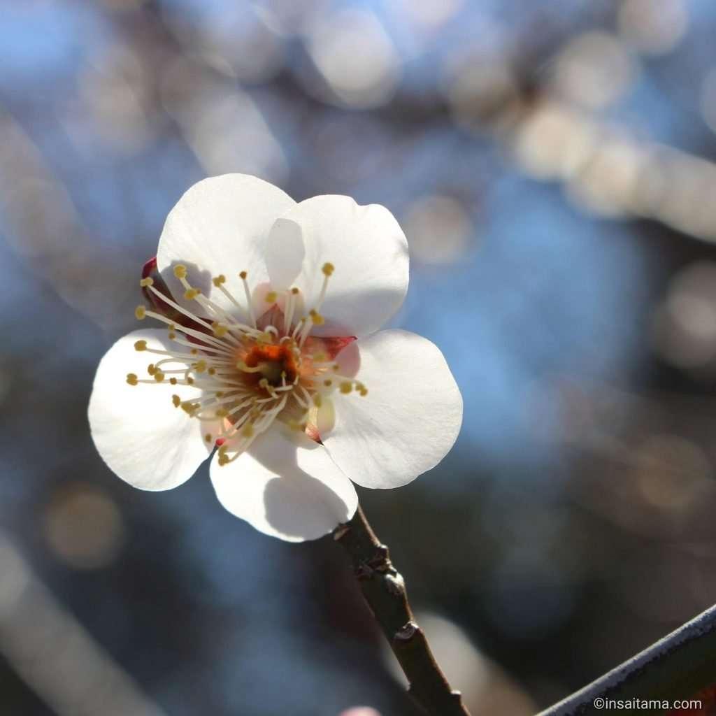 Plum blossom at Omiya Hana no Oka