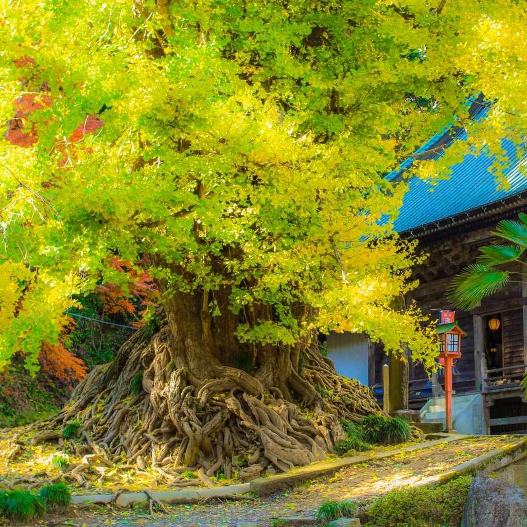 the legendary gingko trees of Higashimatsuyama at shoboji aka Iwadono Kannon