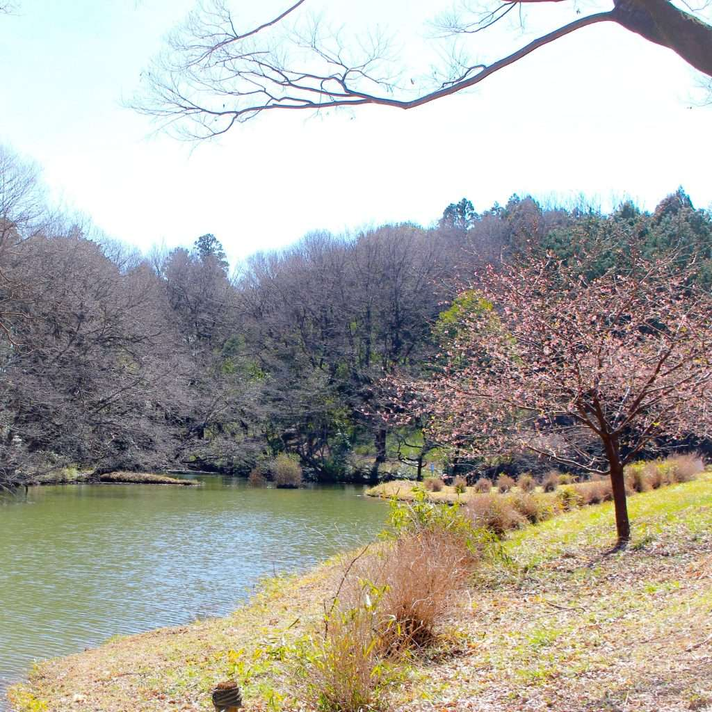 early blooming cherry blossoms namegawa