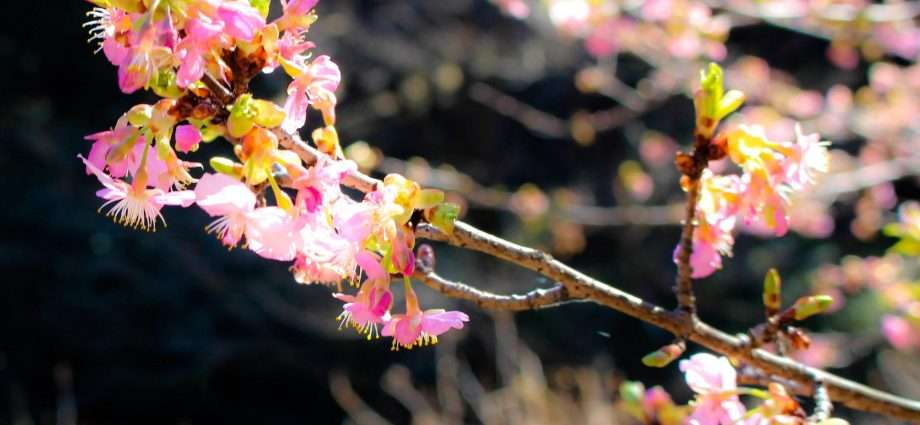 early blooming cherry blossom yatsu no sato namegawa