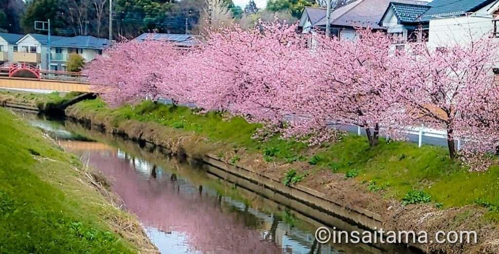 Saitama kawazu zakura washinomiya kuki