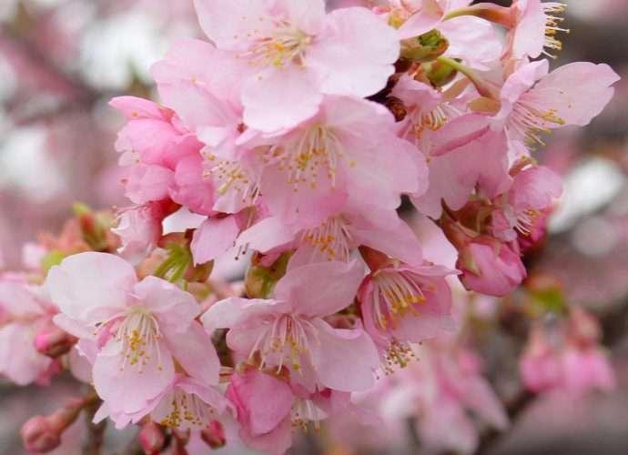 saitama kawazu zakura