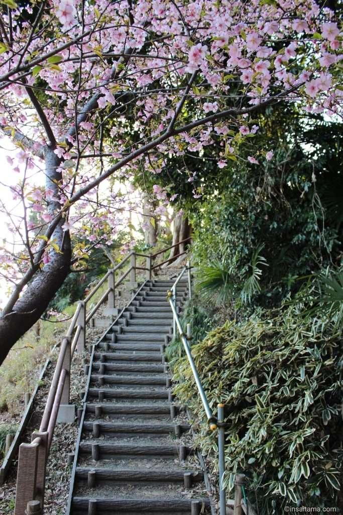 Kawazu Zakura in kawagoe at semba-gashi historic park