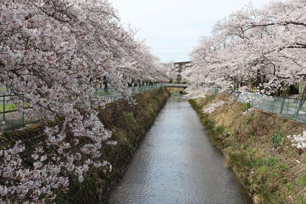 higashisakado danchi cherry blossoms