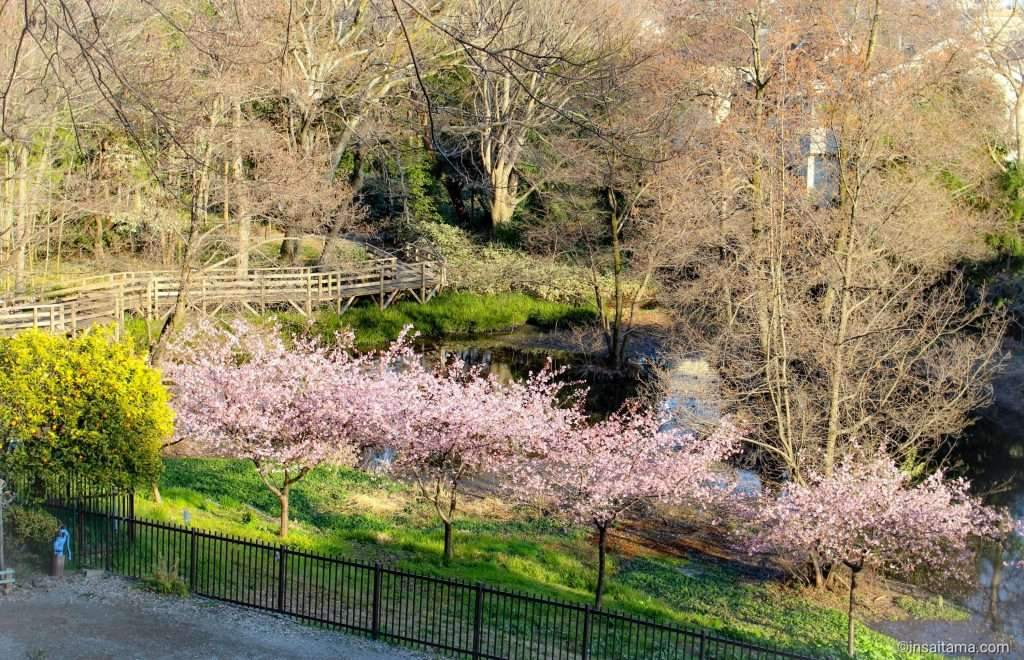 kawazu zakura at semba-gashi historic park