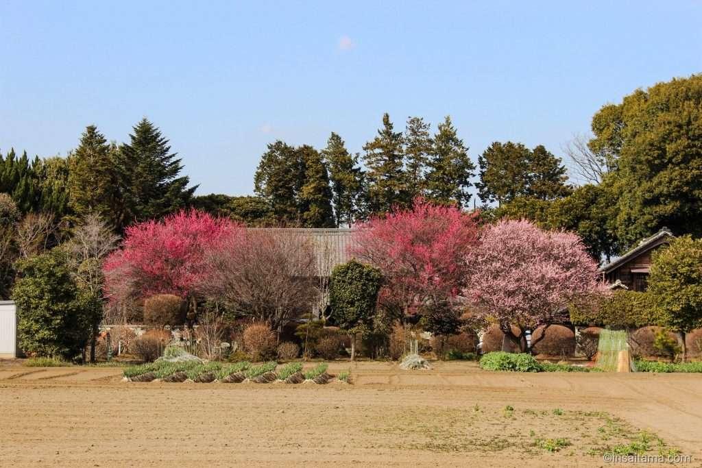 flower road on the kamakura kaido in Kitamoto