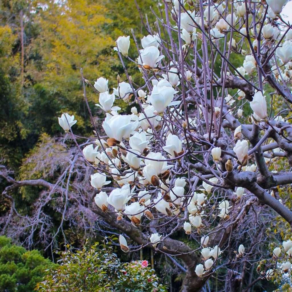 Magnolia Nakain