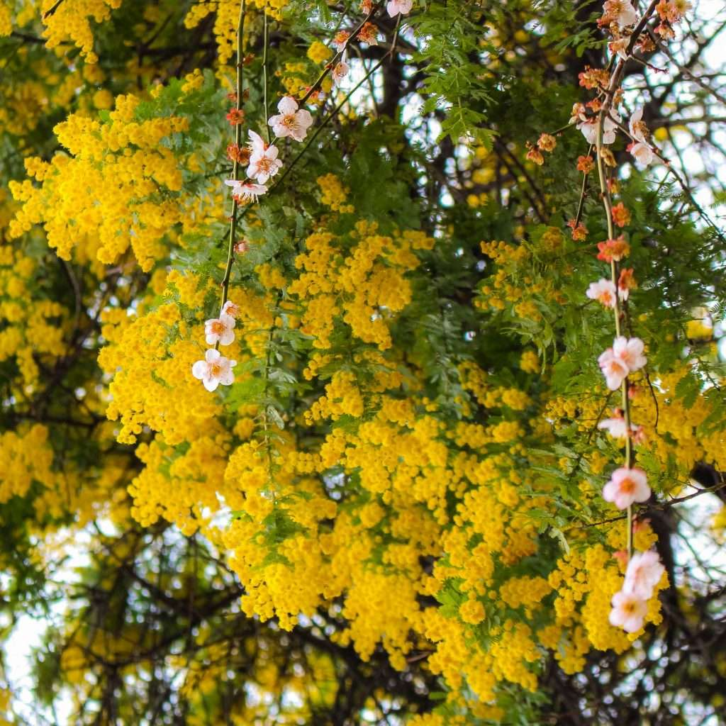 mimosa australian wattle at Nakain kawagoe Saitama