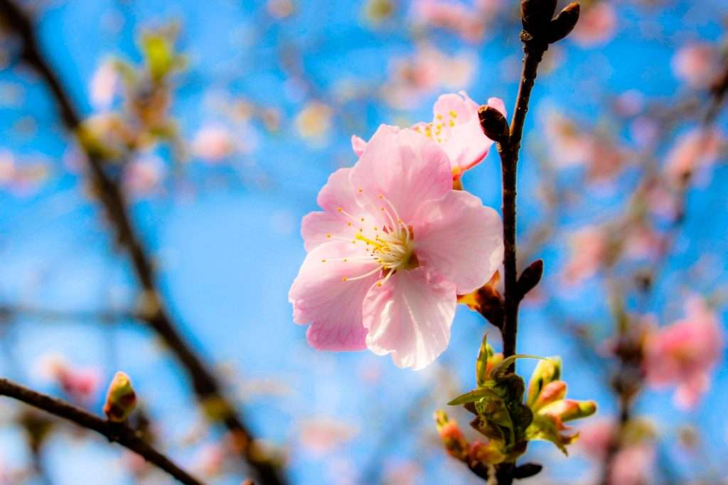 Rakusato no kai kawazu zakura cherry blossoms
