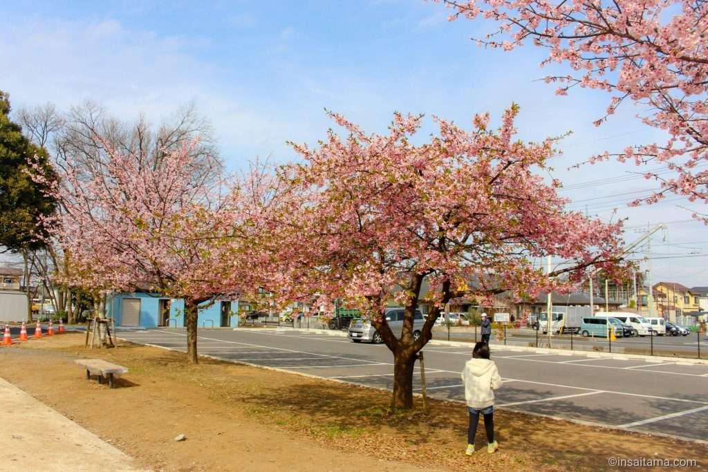 kawazu zakura at koizumihikawasan park in ageo