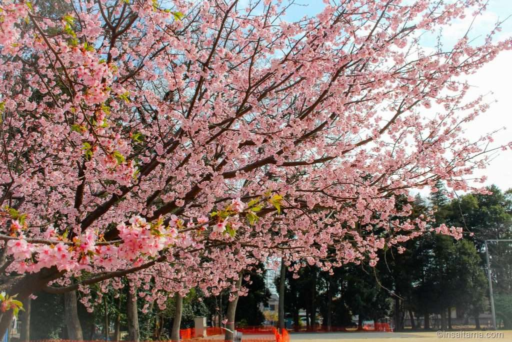 kawazu zakura at Koizumi Hikawasan park in Ageo