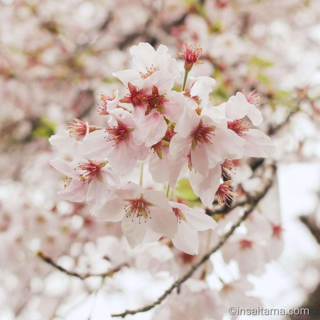 Cherry blossoms at Shoboji Iwadono Kannon
