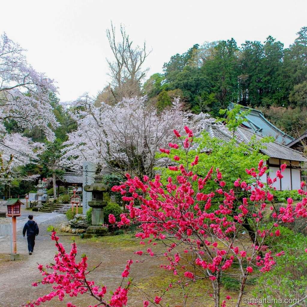 cherry blossoms and azalea at shoboji iwadono kannon