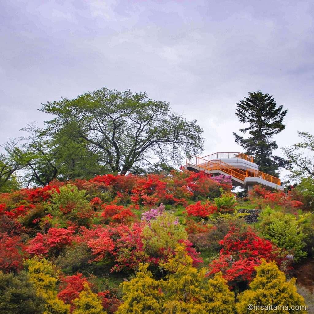 azalea in hatoyama at Oshamoji yama park