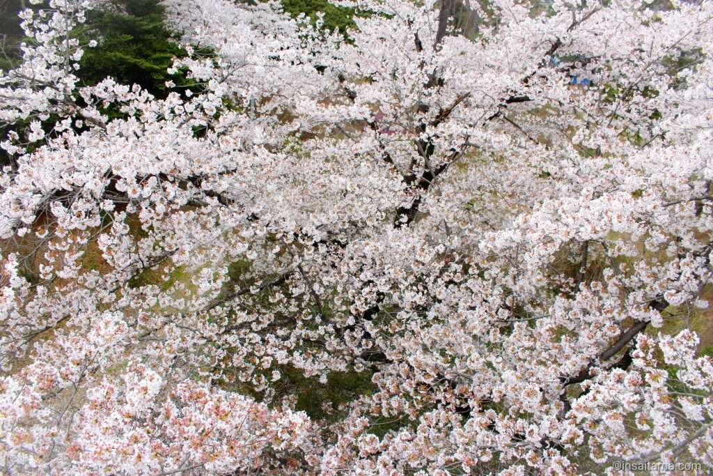sakura at oshamojiyama oshamoji yama park hatoyama