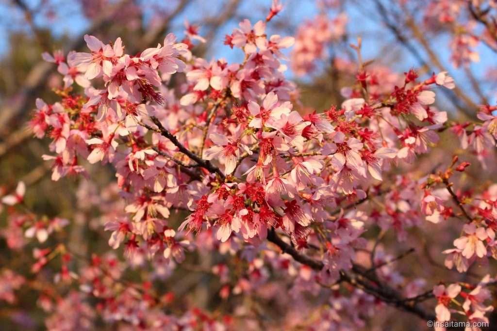 kikushidare cherry blossom at Takao Sakura park