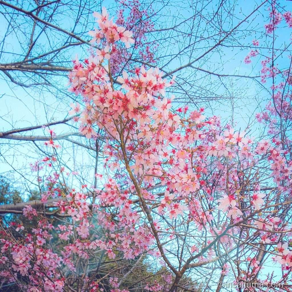 kikushidare saitama prefecture