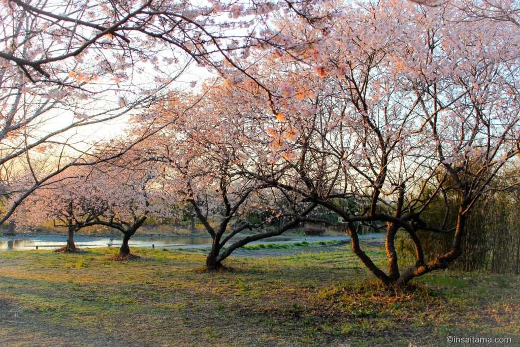 kanzakura takao sakura park