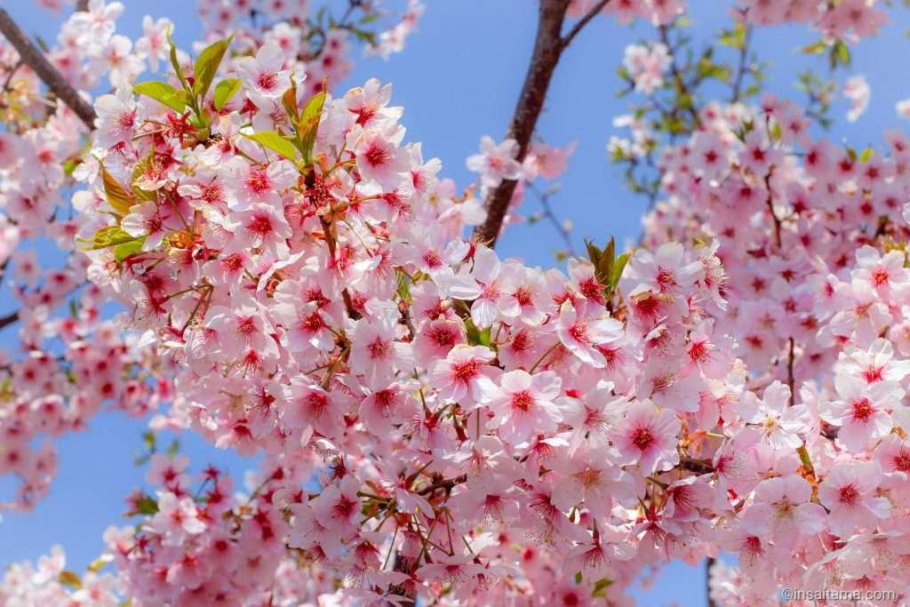 Early blooming sakura on shingashi river