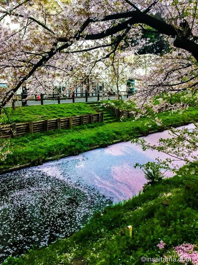 river of pink at Kawagoe Hikawa shrine shingashi river