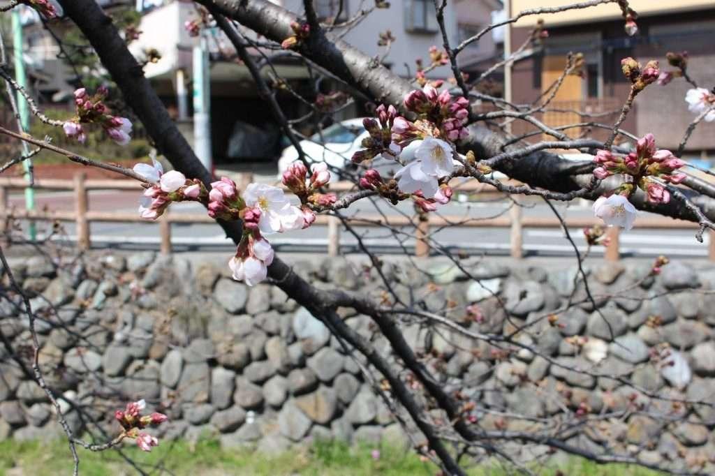 cherry blossoms shingashi river 2021