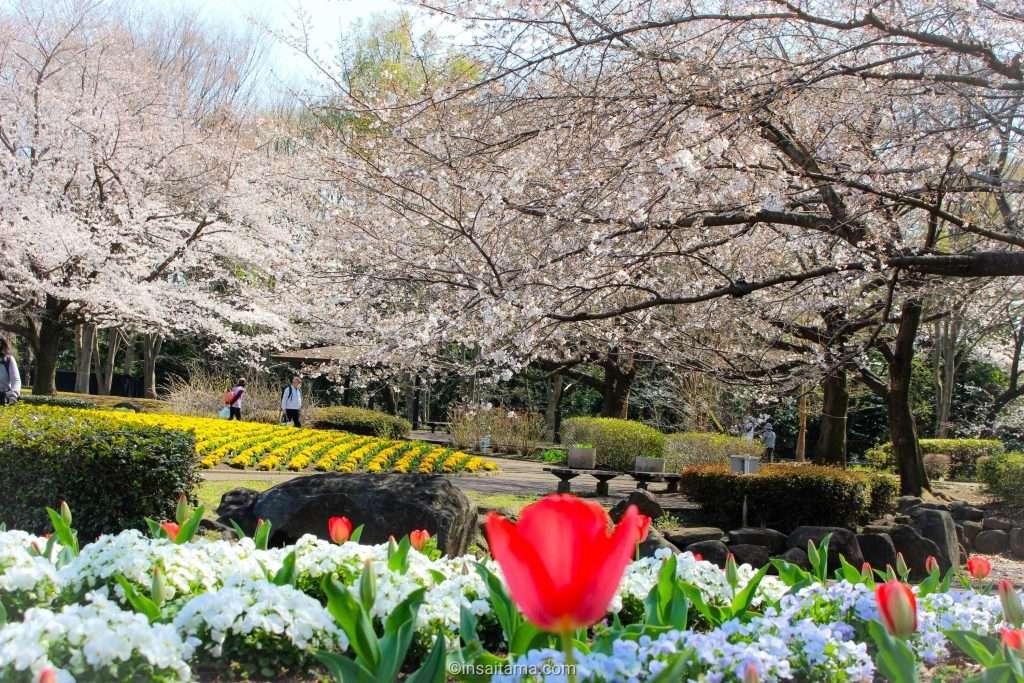 tulips and cherry blossoms in Saitama City omiya hana no oka japan