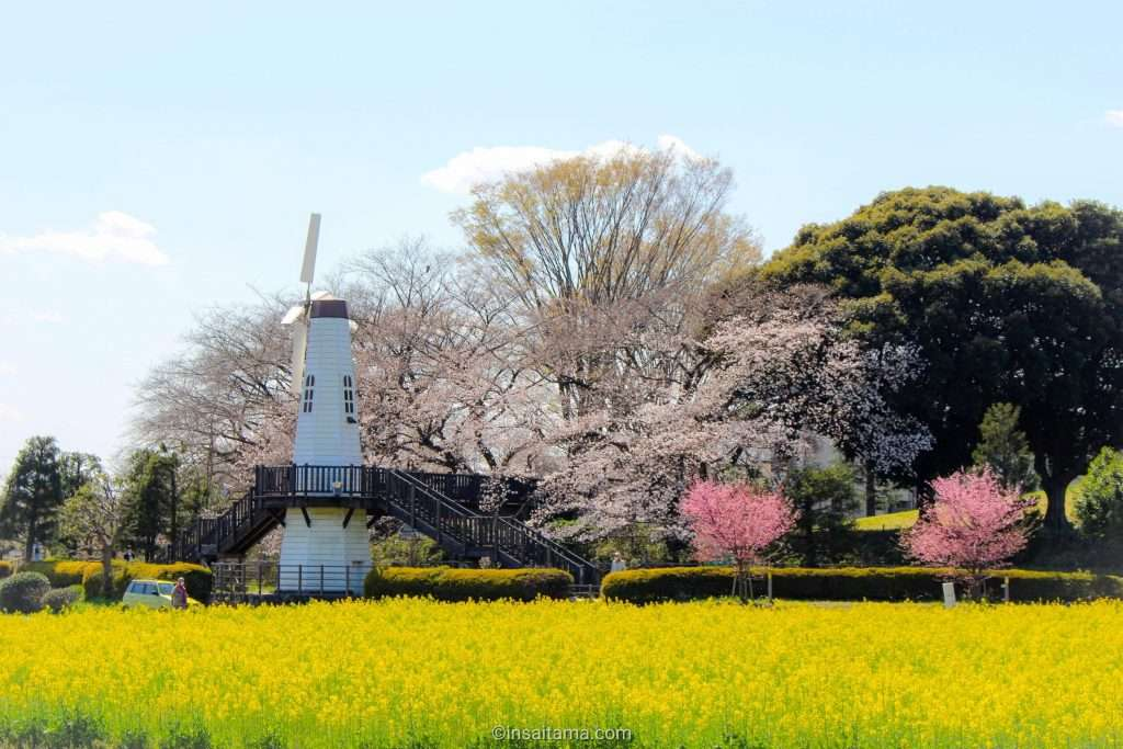 cherry blossoms and rapeseed