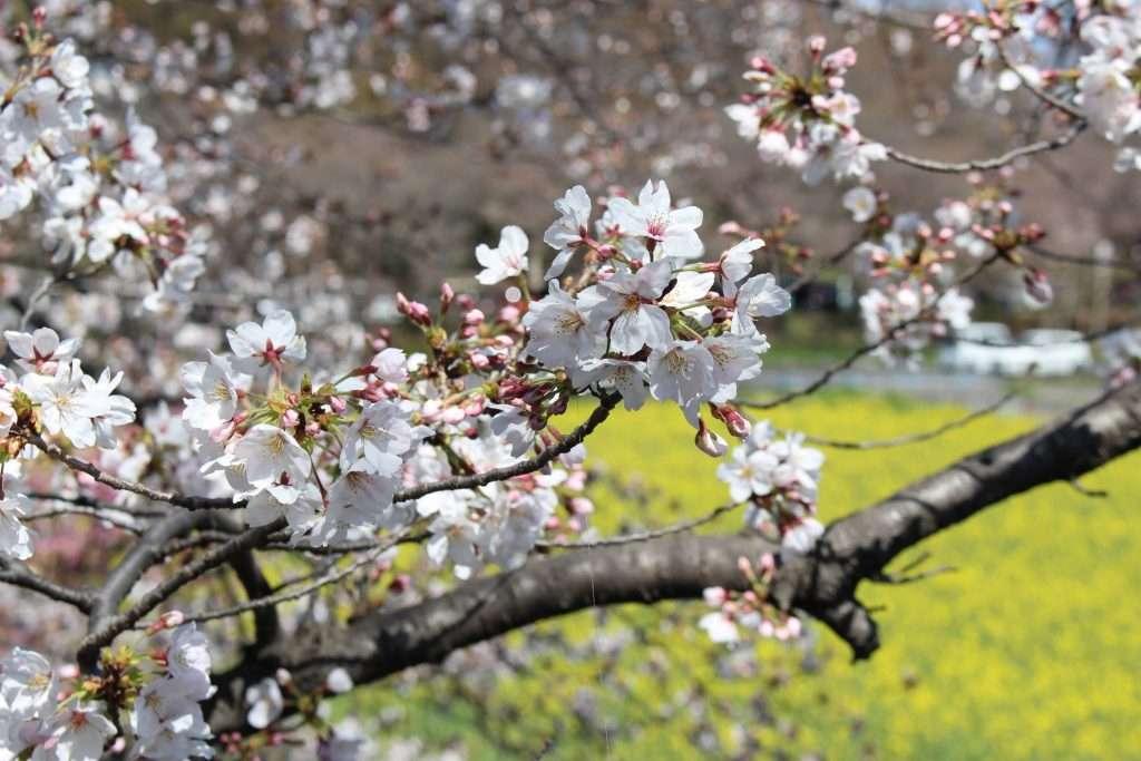 cherry blossoms Saitama city
