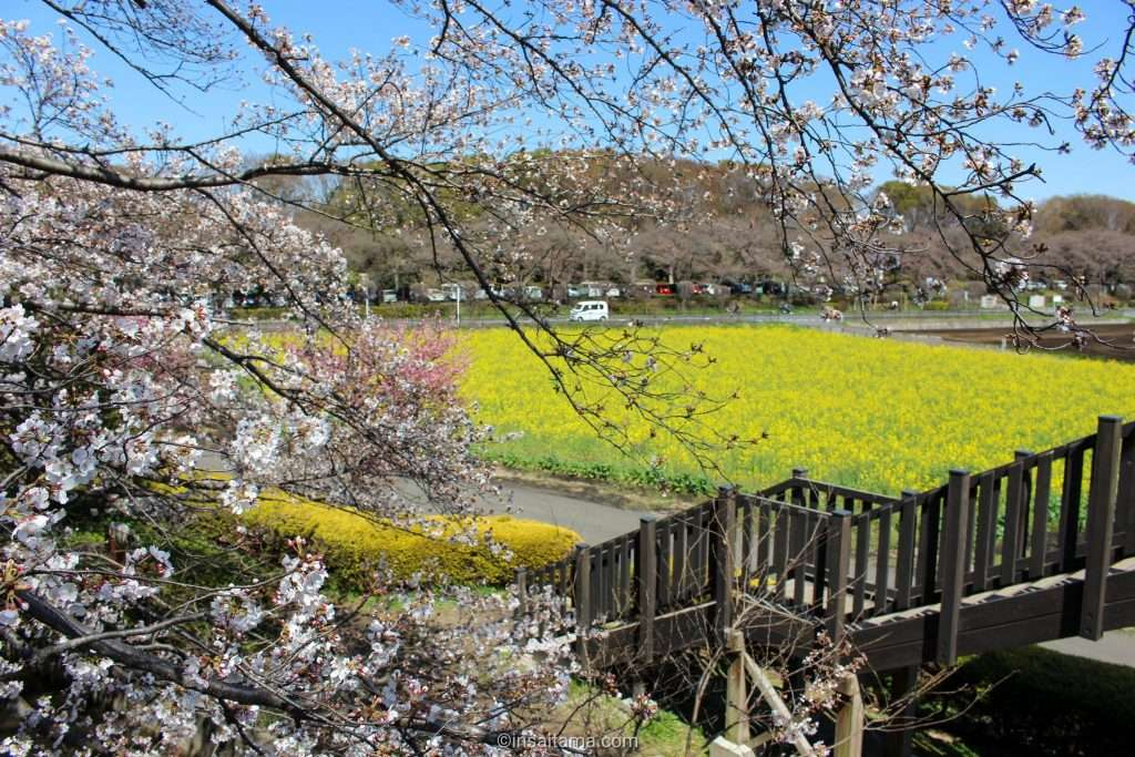 cherry blossoms and rapeseed Saitama