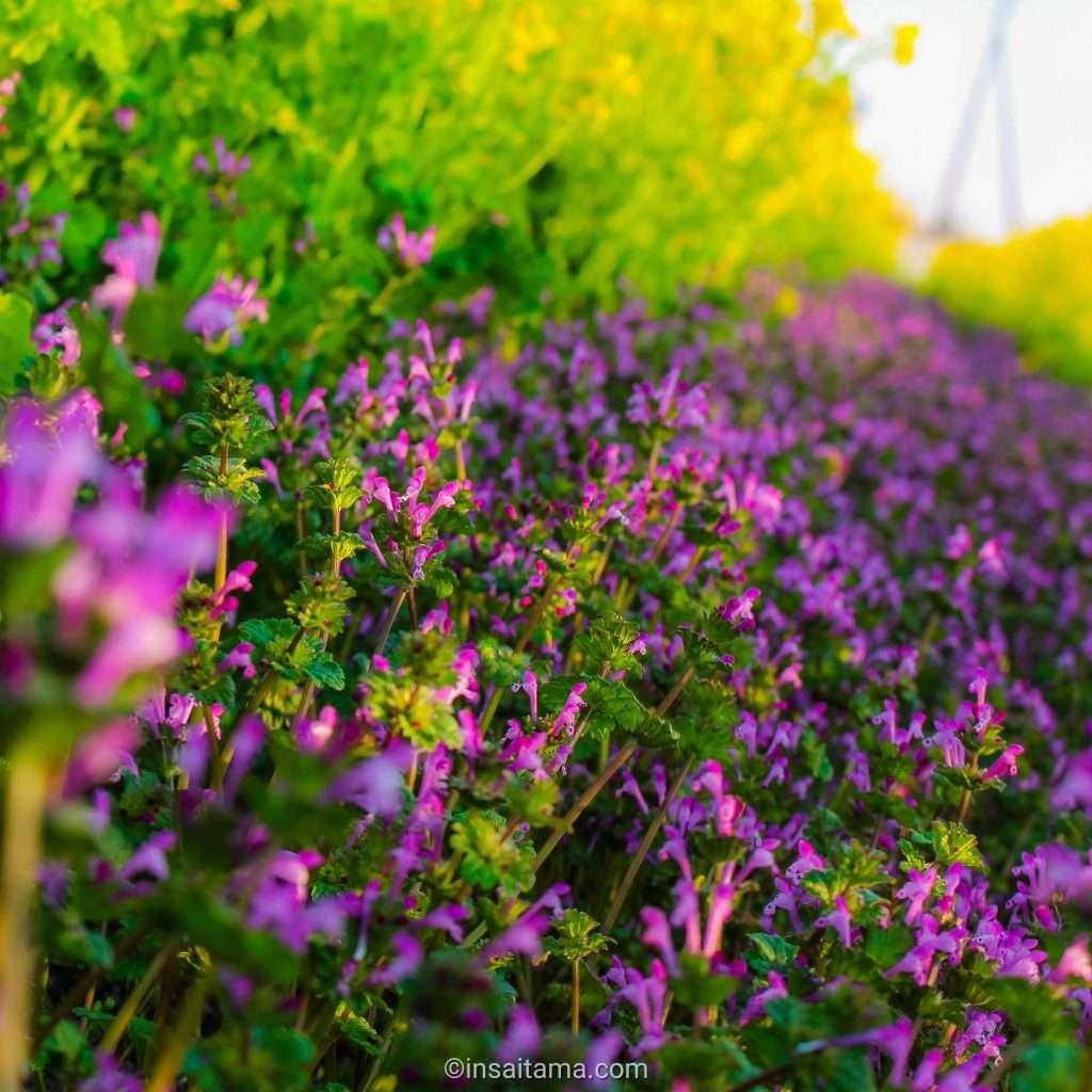 rapeseed and deadnettle flower picking kawajima