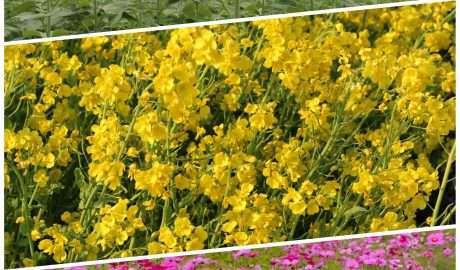 flower picking Kawajima