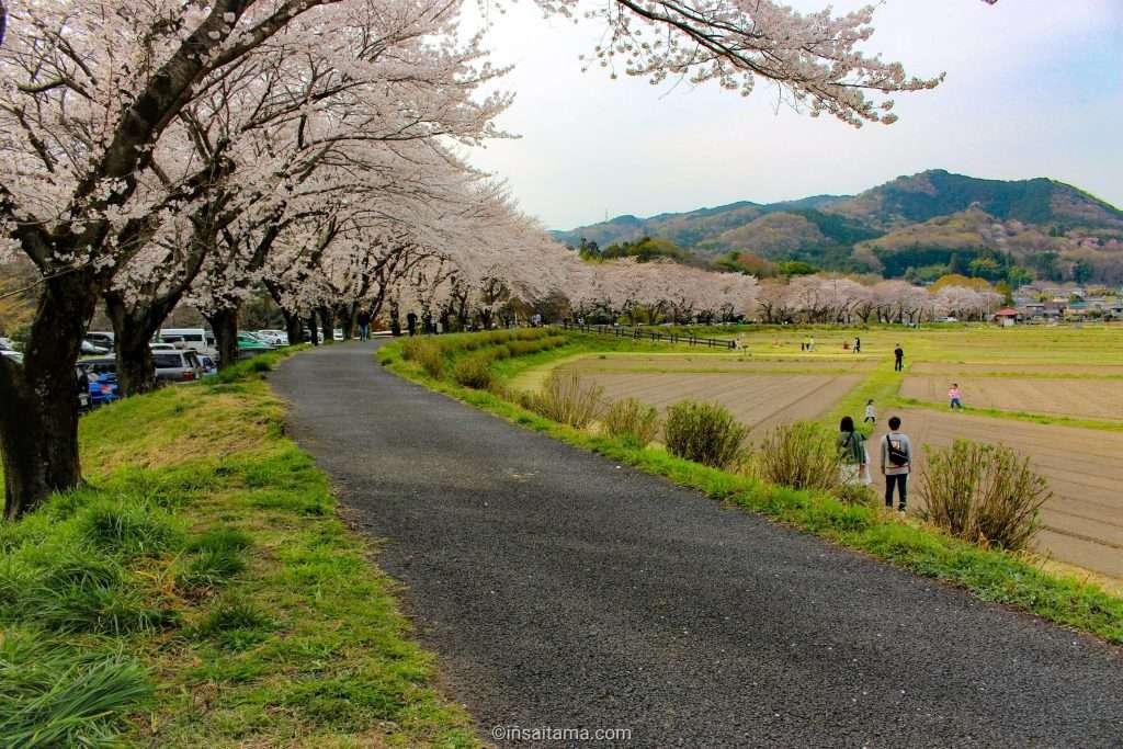 cherry blossoms at Kinchakuda Hidaka