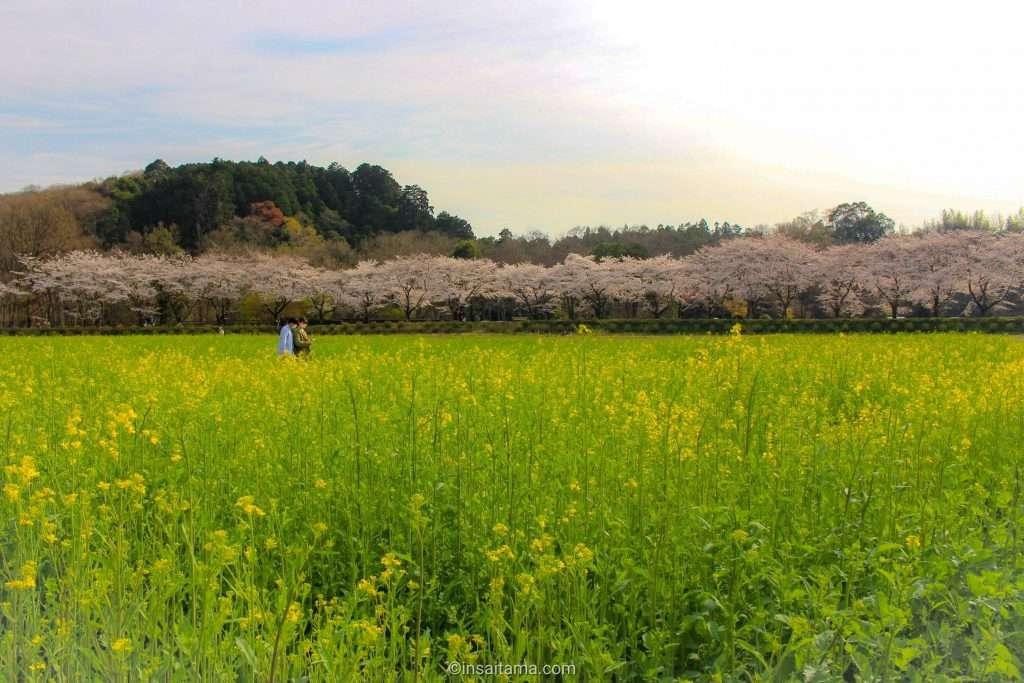 cherry blossoms and rapeseed Kinchakuda