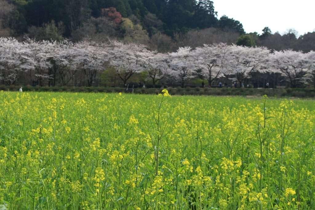 kinchakuda rapeseed and cherry blossoms