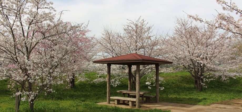 secret sakura spot Sakado