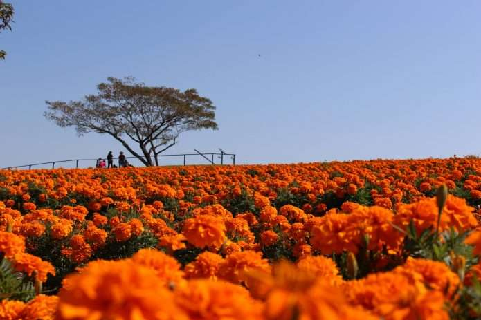 The eponymous marigold of marigold hill Honjo