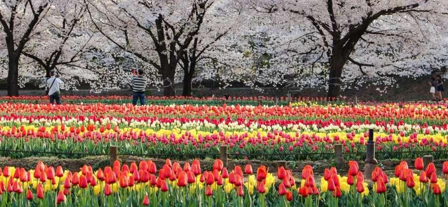 tulips and cherry blossoms Fukaya Green Center